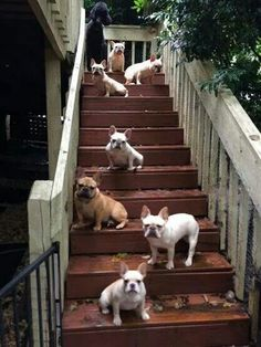stairs full of frenchies