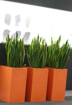 Sanseverias in Orange pots complete the picture in Hamshire school