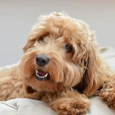 Daisy The Cockapoo 🐾 ( Cockapoo, Goldendoodle, Daisy, Photo And Video, Cute, Animals, Instagram, Animales, Animaux