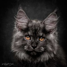 Robert Sijka Captures Stunning Portraits of Maine Coon Cats #inspiration…