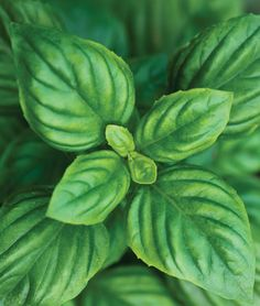 Basil, a must-have in my garden!