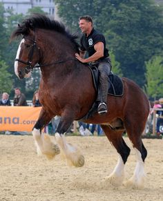 The Shire horse is an English draft horse that comes in many colors. They can stand as tall as 68 inches and are capable of bearing heavy loads. In the past, they were a popular choice for pulling wagons full of beer to be delivered to customers across England.