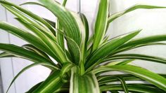 Spider Plant Care Tips to Keep Yours Happy and Healthy Forever - Garden and Happy Leafy Plants, Ivy Plants, English Ivy Plant, Houseplants Safe For Cats, Easy Care Indoor Plants, Chlorophytum, Corn Plant, Growing Plants Indoors, Poisonous Plants