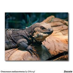 Ctenosaura melanosterna  Schwarzbrust-Schwarzleguan - black-chested spiny-tailed iguana postcard