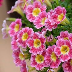 'Marvel Beauty' Raspberry Petunia
