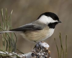 81542-black-capped-chickadee-in-winter.jpg (1280×1024)