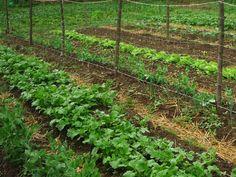 3 biotrágya a kertbe Plant Species, Growing Plants, Permaculture, Vegetable Garden, Homesteading, Vineyard, Landscape, Vegetables, Green