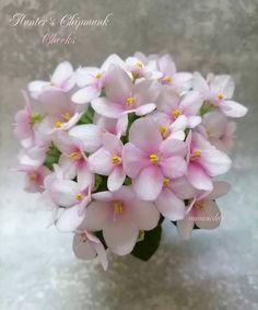 Hunter's Chipmunk Cheeks • K. Muzalewski • Miniature • White semidouble/double pansy, rose eye. Light Green foliage. #HuntersChipmunkCheeks #MuzalewskiViolets #Miniviolet #MiniatureViolet #AVSA #AfricanVioletSocietyOfAmerica #AfricanViolet #IndoorPlant #Houseplant #saintpaulia #senpolia #AfricanVioletLovers #flowers #bloom #blooms #fialki #fialka #flowerpower #AfricanVioletLovers  Leafy Plants, Flowering Plants, Indoor Plants, Planting Flowers, Easy House Plants, Saintpaulia, African Violet, Carnivorous Plants, Natural Garden