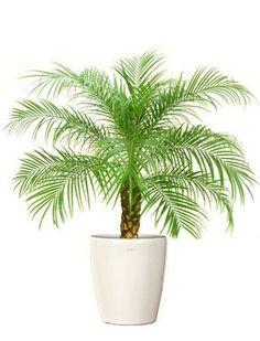 Pygmy Date Palm | pygmy-date-palm-tree-indoor-palm-tree-phoenix-roebillinii-dwarf-date ...