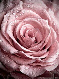 queenbee1924:  (via Pink Rose | ❤ Dusty Rose