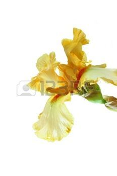yellow iris flower: yellow iris flower on a white background.