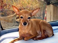TYPES OF CHIHUAHUA–Although many people are not aware of that, there are actually different types of Chihuahuas available and they are easy to distinguish because their physical features are usually different from each other. Chihuahuas are great small sized dogs that make great pets and companions. They are smart and nice and will be loved ... Read more