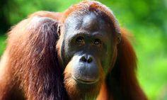 PETALI DI CILIEGIO ...per coltivare la speranza: In difesa degli animali: gli orango