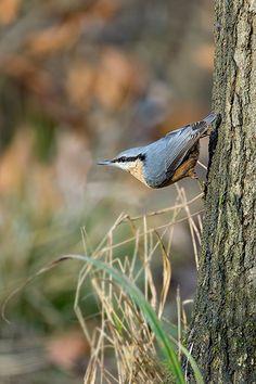 Nuthatch Mark Hancox Bird Photography