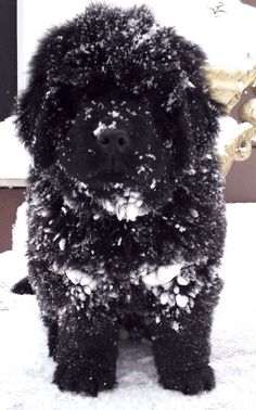 Newfoundland puppy...  This is what I want... NEED! So cute ~ Millie