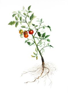 oliverscarlin: Solanum lycopersicum / Cherry Tomato ~ Watercolour (2012) Thanks for the submission!