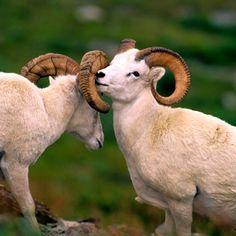 Dall Sheep - Denali National Park, Alaska