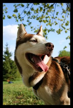 #siberian #husky