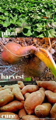Learn how to grow sweet potatoes in your back yard garden! Sweet potatoes are simple to grow and can be growing containers or in raised beds. Learn to grow them from planting to harvest! #gardening