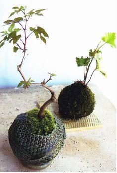 苔玉・陶玉盆栽 mossy ball bonsai