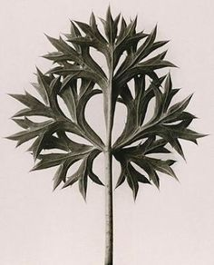 Eryngium bourgatii - Bourgatis Eryngo by Karl Blossfeldt before 1928 Karl Blossfeldt, Botanical Art, Botanical Illustration, Natural Form Art, Ernst Haeckel, Natural Structures, Seed Pods, Patterns In Nature, Macro Photography