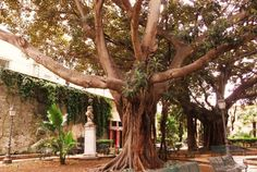 Syrakus - 1000 jähriger Feigenbaum ? :)