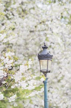 Paris Photography, White Cherry Blossoms with Lamp Post