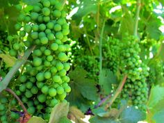 All about Lodi wine country in California: what is so great about it and where to go