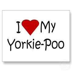 I love Yorkie Poo's