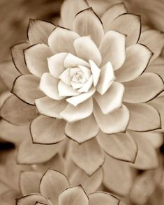 Where to buy White Desert Rose Succulent plants - nature plants for table centerpiece deco Succulent Gardening, Cacti And Succulents, Planting Succulents, Container Gardening, Planting Flowers, Succulent Ideas, Succulent Terrarium, Indoor Gardening, Flowers Garden