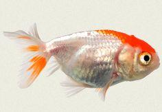 Red & White Lionhead Fancy Goldfish