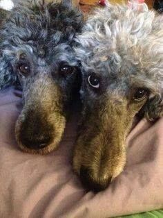 Poodles looks What do the eyes tell you???