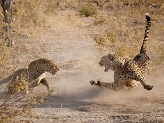 Cheetah and Leopard, Botswana