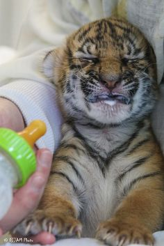 Three Malayan Tiger cubs at the Cincinnati Zoo are being hand raised by keepers after their mother rejected her babies. Each cub is important because only 500 of these Tigers remain in the wild. See video at ZooBorns.com and at http://www.zooborns.com/zooborns/2017/02/tiger-cubs-are-grrrrowing-up-fast.html