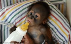 Say hello to Rizki, the tiny nappy-wearing orangutan who is hand-reared on milk and mashed banana after his mother rejected him at birth Zoo Animals, Cute Animals, Monkey See Monkey Do, Lil Sweet, Baby Orangutan, Say Hello, I Love Dogs, Animals Beautiful, Animal Pictures