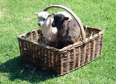 Ouessant Sheep. From a French Island. Claimed to be the world's smallest. These are lambs.