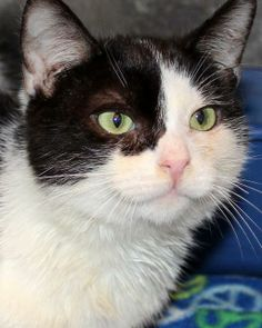 Cameron is an adoptable Domestic Short Hair Mix in Lake Oswego, OR! Check out his page for more details!