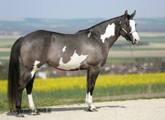 Abby, grullo overo paint horse mare.