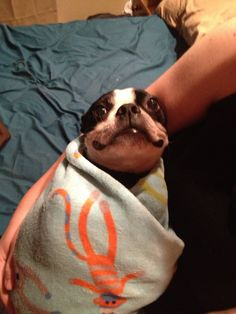 e117a23f03 Pregnant lady is practices swaddling on Boston Terrier - Imgur Baby Boston  Terriers