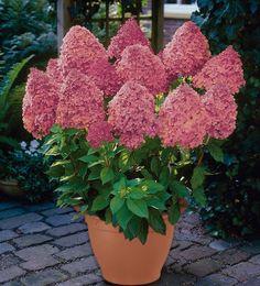Hortensja wiechowata MAGICAL FIRE ® Hydrangea paniculata syn. Bokraplume - Internetowy sklep ogrodniczy