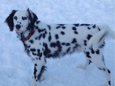 long coat Dalmatian love these dogs!! Had one when I was a kid and desire to own another soon enough!!