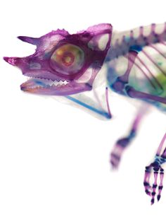 animals made transparent, bones and cartilage dyed, made to look like x-rays... COOL! can i have one??!?!