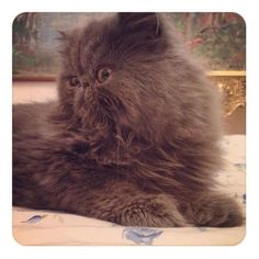 #persian cat #medusa #cute