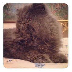 #persian cat #medusa #cute