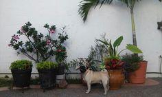 macetas, flores y pug