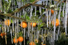 ' Icicles on oranges, Seffner, Florida, 1/13'........Massachusetts Storm 2013: Snow Poses Blizzard Threat To New England