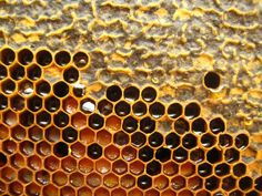 Comb, again from my front yard hive last summer, with capped and uncapped honey cells and bee bread. Bee bread is pollen mixed with honey that the bees use for energy during the summer and has more protein in it than pure honey.