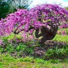 Nature Hills Nursery carries an elegant Lavender Twist Weeping Redbud. The weeping redbud has an umbrella-shape that is accentuated by the weeping and twisted branches. Order the weeping redbud tree from our exclusive online collection of plants now! Garden Bulbs, Garden Shrubs, Garden Trees, Garden Plants, Trees And Shrubs, Flowering Trees, Trees To Plant, Redbud Trees, Low Maintenance Landscaping