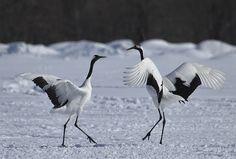 CRANES: National bird Japanese crane  Kushiro-shi, Hokkaido, Japan