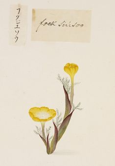 "Kawahara Keiga: Picture book Vol.2 ""botanical art"", Far East Amur adonis"